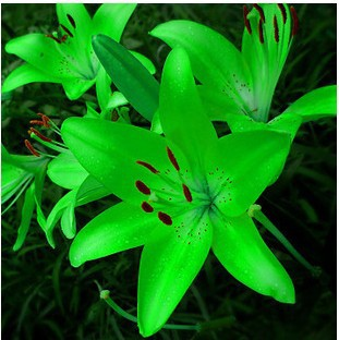 New lily Plants indoor bonsai perfume lily seeds lily flower seeds 50 seeds