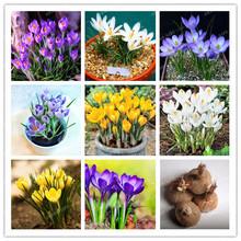 Buy True crocus saffron bulbs,iran saffron, (not saffron seed),bonsai flower bulbs potted plantt Bonsai home garden-2bulbs for $1.29 in AliExpress store