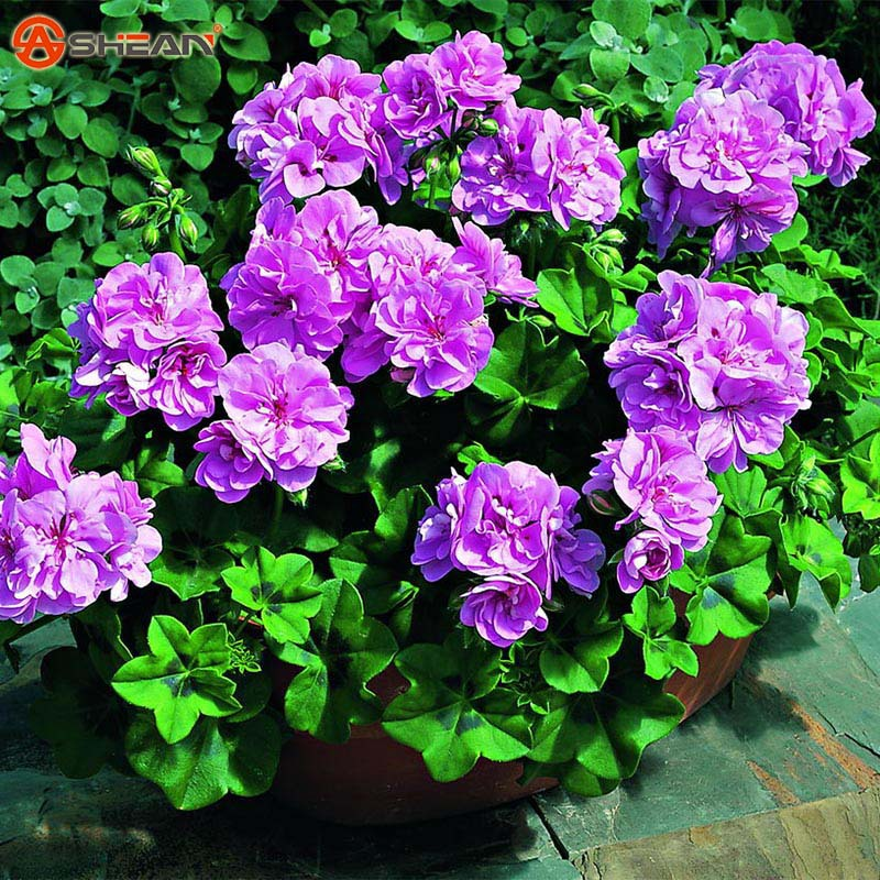A Package 20 Pcs Purple Univalve Geranium Seeds Perennial Flower Seeds Pelargonium Peltatum Seeds for Indoor