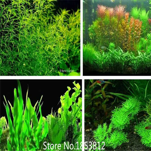 Aquarium plants seeds 20 kinds aquarium grass seeds for Growing plants with fish
