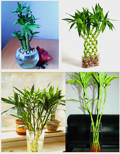Sorte de bambu bonsai vender por atacado sorte de bambu - Tipos de bambu ...