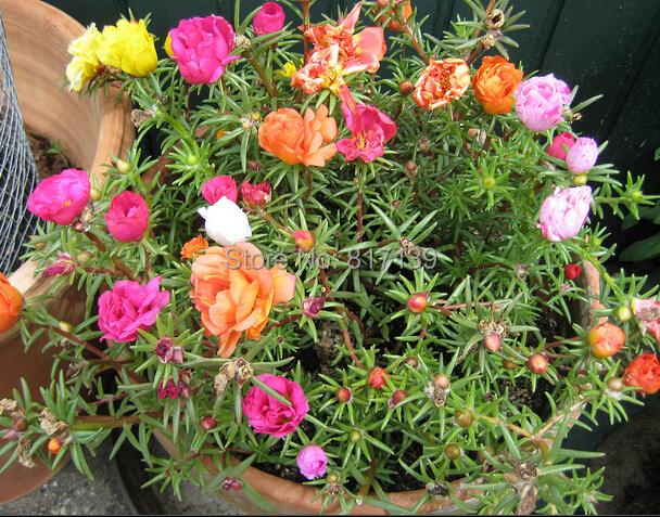 2018 new 500 seeds home garden mixed mexican rose sun plant portulaca moss rose portulaca. Black Bedroom Furniture Sets. Home Design Ideas