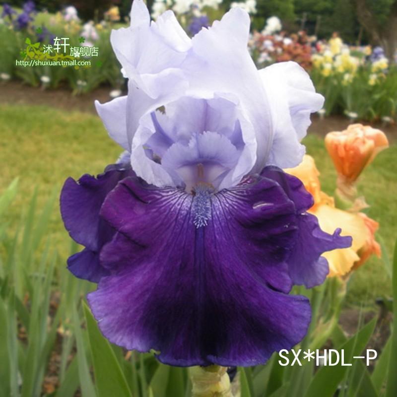 online kaufen gro handel japanischen iris aus china japanischen iris gro h ndler. Black Bedroom Furniture Sets. Home Design Ideas