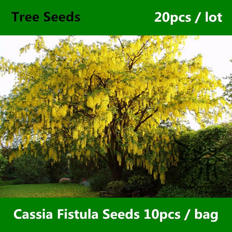 Golden Shower Tree - Cassia fistula - Rare and Heirloom Seeds