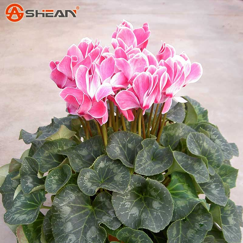 Hot Sale 7 Colors Can be Choose Cyclamen Flower Seeds Perennial Flowering Plants Cyclamen Seeds 100
