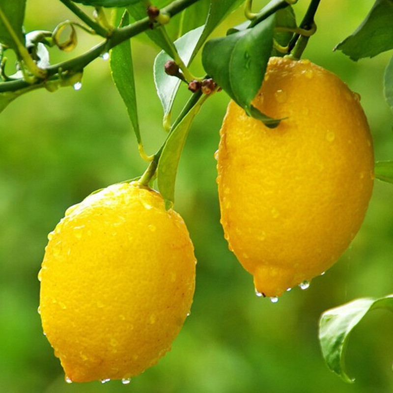 Perfume Lemon Tree Seeds High survival Rate bonsai Fruit Seeds For Home Gatden balcony Bonsai - 50 pcs / lot(China (Mainland))