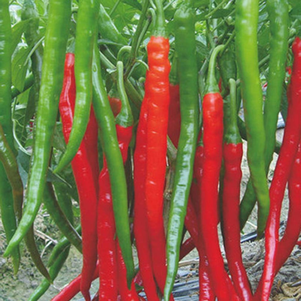 """10 pcs /bag Giant Red Hot Spices Spicy Chili Pepper vegetables Seeds Plants Up To 50cm 20"""" Long Plants home garden(China (Mainland))"""
