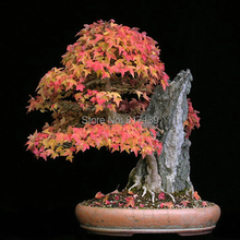 Buy New Home Garden Bonsai Plant 5 Seeds TRIDENT MAPLE Acer Buergerianum TREE Seeds Free for $1.29 in AliExpress store