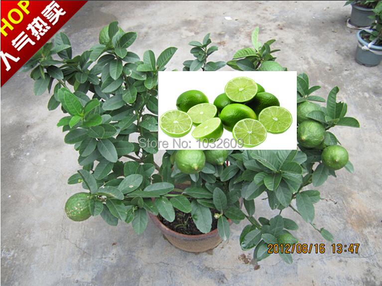 High quality fruit seeds 30pcs green lemon seeds bonsai tree sementes frutas for small gardens Indoor plants FTBR018(China (Mainland))