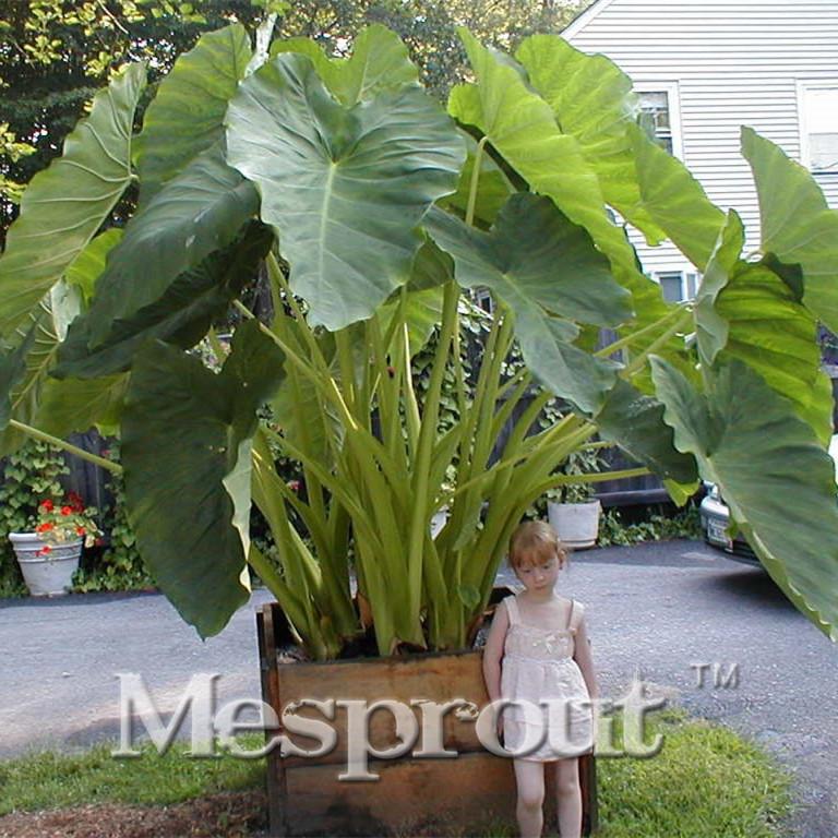 Achetez en gros oreille d 39 l phant plantes en ligne des for Alocasia d interieur