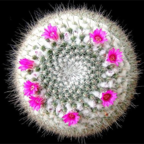 plantas de jardim lista : plantas de jardim lista:Cactus Cactus semente Rare sementes de plantas folha planta jardim