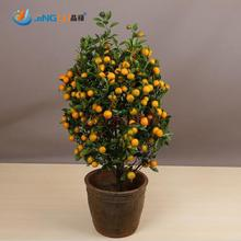 100 Pcs Edible Fruit Mandarin Indoor Bonsai Tree Seeds Citrus Bonsai Mandarin Orange Seeds