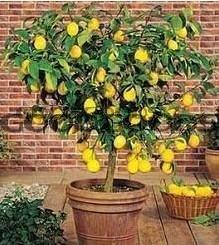 Карликовое дерево 50 карликовое дерево china seeds dionaea muscipula