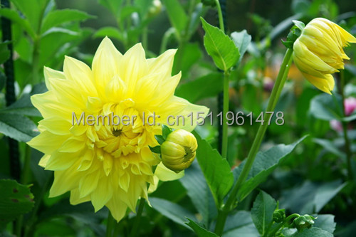 100 seed mixed color dahlia, the balcony compound is kind of potted ornamental flower seed.(China (Mainland))