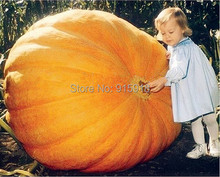 Vegetable seeds 30pcs seeds Atlantic Giant Pumpkin Seeds Garden Seeds,Free shipping !(China (Mainland))