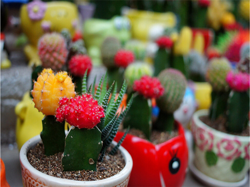 Mixture Of Cactus Seeds ,Echinopsis Flower Seeds, High Germination - 10 Seed particles(China (Mainland))