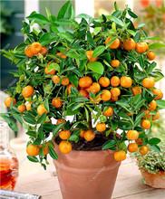 20 шт./пакет комнатных растений семена Карликовые деревья лимон семена многолетних дерево Семена японский импорт Лайм фруктовый Семена для ...(China)