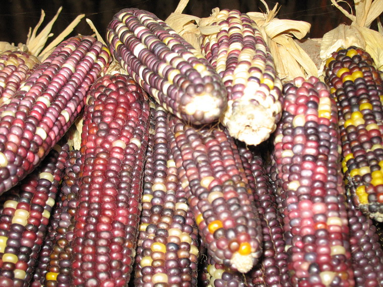 30pcs/pack purple white black yellow Red Corn Seeds for choice Fruit Seed Corn Sweet Vegetables Seeds For Outdoor Garden(China (Mainland))