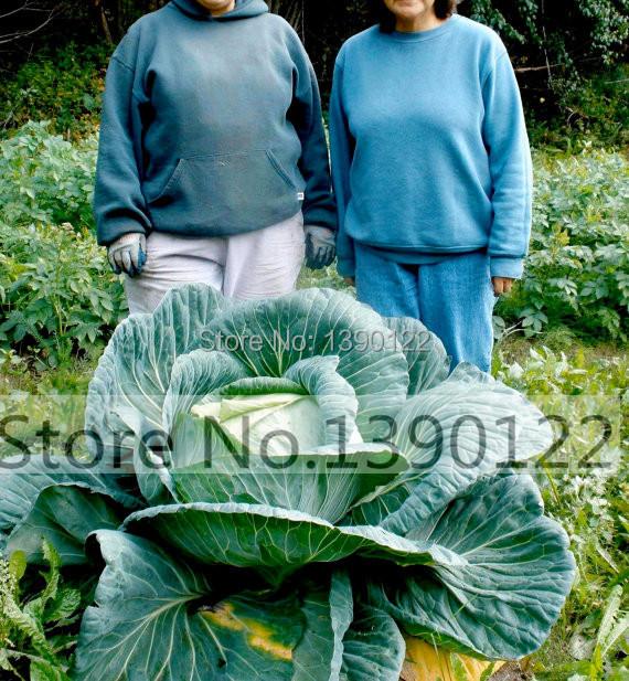 как вырастить крупную капусту белокочанную на огороде