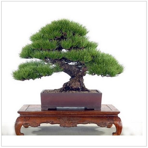 Pine Tree Seeds Pinus Thunbergii Seeds Bonsai Seeds Potted Landscape Home Garden, 60 seeds/bag(China (Mainland))