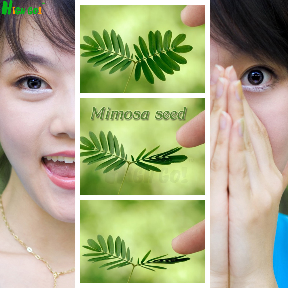 Mimosa Singular plant seeds, simple planting, home garden, flower magic, Indoor potted plants,bonsai - xi meng store