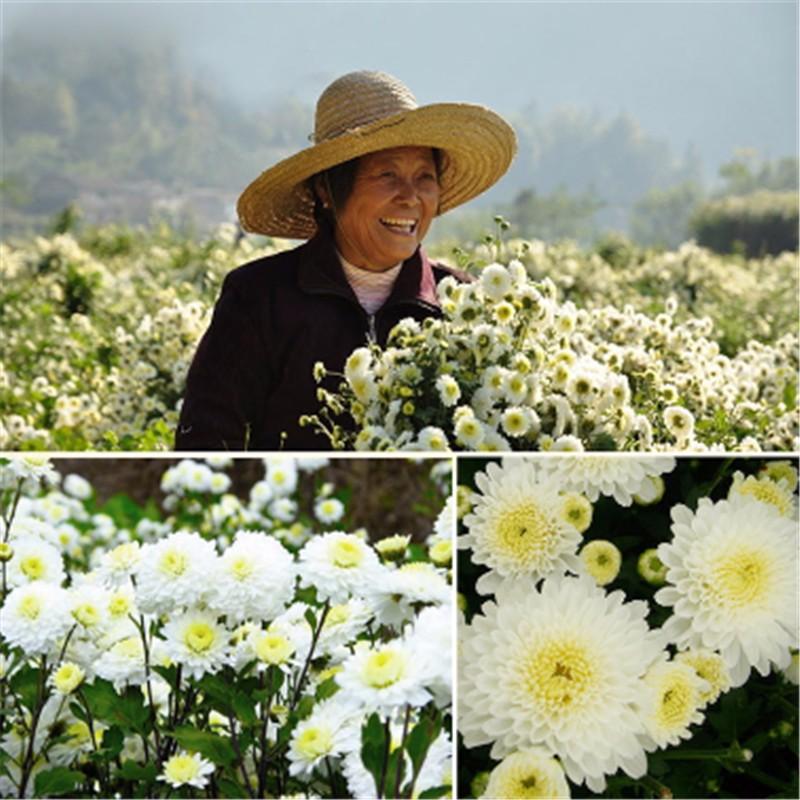 High Quality Tire Chrysanthemum Tea slimming beauty Herb Chrysanthemum Tee Chinese Health Care Food Premium 2016 New  flower tea cheap