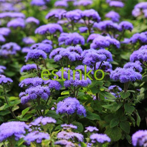 Blue Crown Ageratum Conyzoides Seeds 60pcs/bag Ageratum Flower Seeds Home Garden Bonsai Seeds Flower Balcony Pot Free Shipping(China (Mainland))