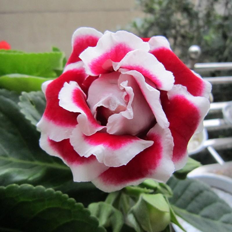 120 pcs Hot Sale Unique Red White Side Gloxinia Seeds Perennial Flowering Plants Sinningia Speciosa Bonsai Balcony Flower