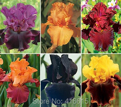Iris Seeds Bold Colors Bearded Iris Collection Seeds Colorful Flower Seeds Pack Home Garden Flower Plants(China (Mainland))