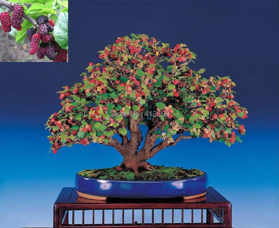 Bonsai Mulberry Tree Seeds (20 Pieces/ bag) PLUS GIFT Perennial Bonsai Fruit Plant Blackberry Seeds(China (Mainland))
