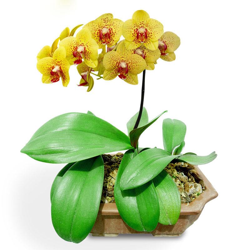 Online Krijg Goedkoop Kleine Orchidee Pot -Aliexpress.com ...
