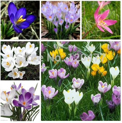 Saffron saffron seeds saffron flower seeds in bloom all year round garden decoration 100 seeds - Flowers that bloom all year round ...