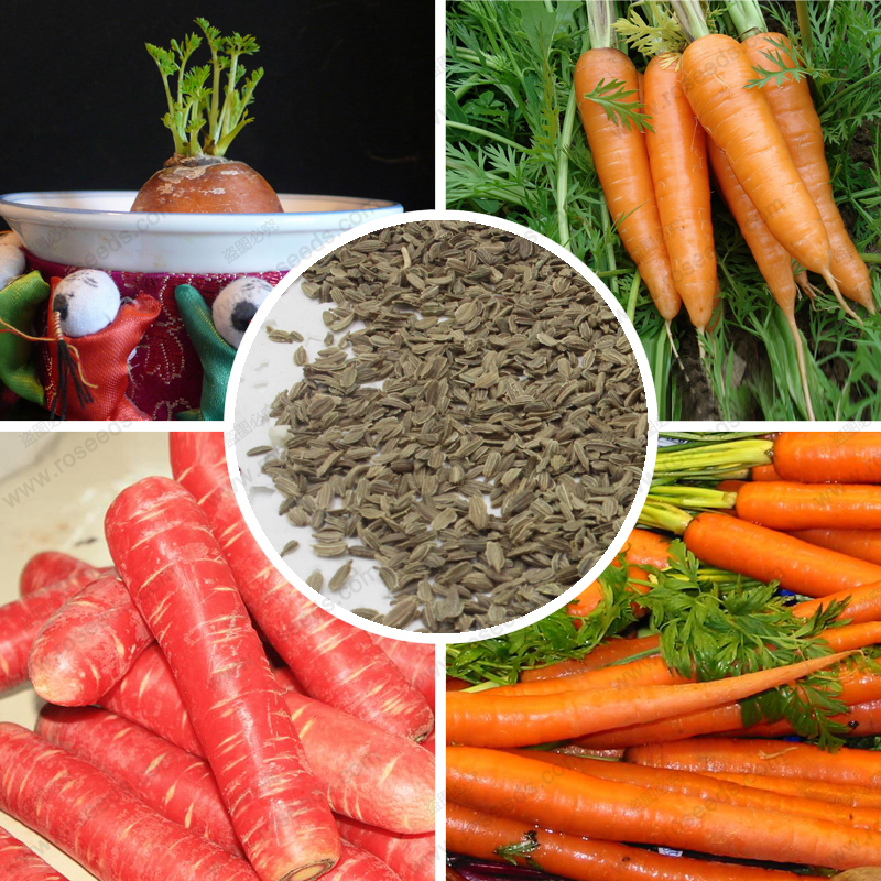 Vegetable seed carrots carrot seeds 100% real delicious fresh carrot seed 300 particles / bag(China (Mainland))