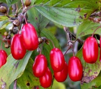 1kg  10:1 Cornus officinalis extract Cornus extract Dogwood extract<br><br>Aliexpress
