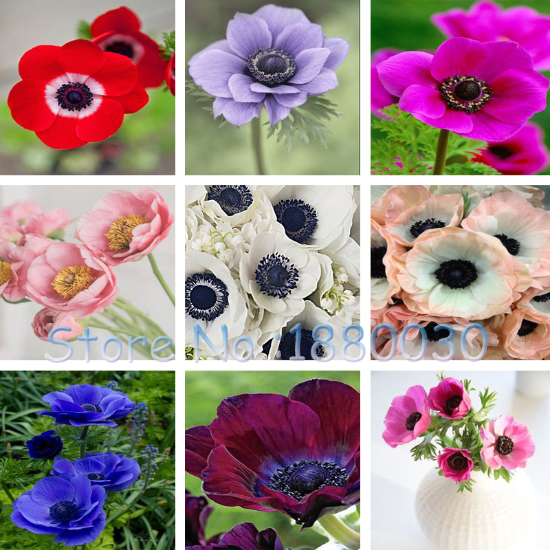 Unique 11 different colors Japanese anemone seeds potted bonsai DIY home garden peony seeds 12PCS(China (Mainland))