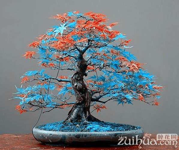 7 Kinds for choose! 20 pcs Rare blue maple Seeds Bonsai Tree Plants Pot Suit for DIY home garden Japanese maple seeds(China (Mainland))