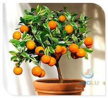 Calamondin seeds, miniature citrus, 100 seeds, tangy fruit, orange seeds, showy houseplant, fabulous bonsai, fruit seeds(China (Mainland))