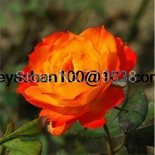 The new miniature rose plant small diamonds rose more than 100 flower seeds flower(China (Mainland))