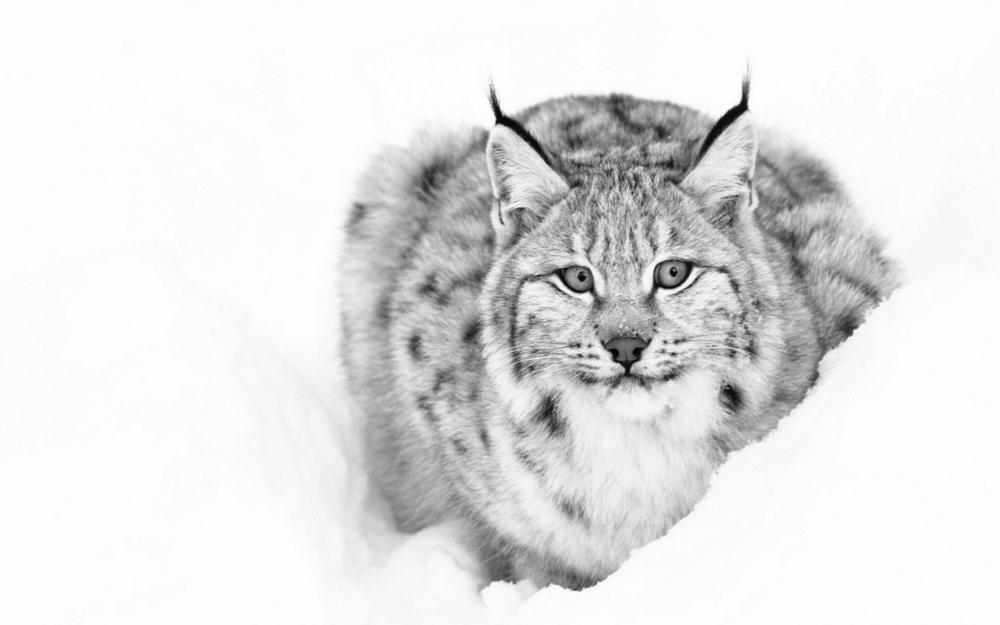 Animals Lynx cat 4' Size Home Decoration Canvas Poster Print(China (Mainland))