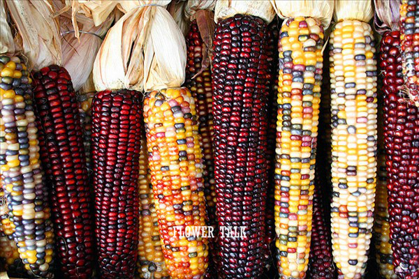 25pcs/bag red yellow purple black white corns seeds vegetables fruit seeds bonsai garden vegetable seeds for home plantas(China (Mainland))