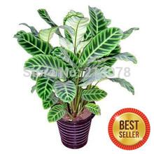 Thalia dealbata seed, seed arrowroot water, Cuiye arrowroot, can purify the air, absorb formaldehyde - 100 seeds(China (Mainland))