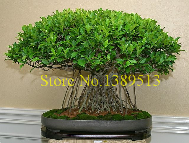 10 china banya tree bonsai seeds ficus microcarpa tree. Black Bedroom Furniture Sets. Home Design Ideas