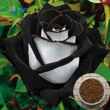 100% True 200 Seeds China Rare Black + White Rose Professional Pack Flower Seeds(China (Mainland))