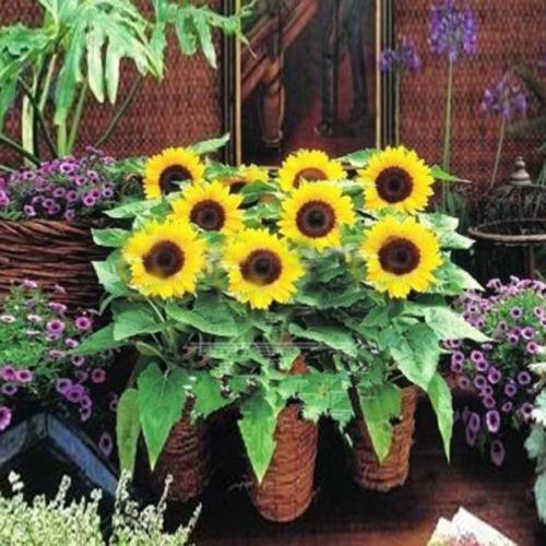 "Dwarf Baby Sunflower 20 Seeds"" Original Package Mix Color Mini B027(China (Mainland))"