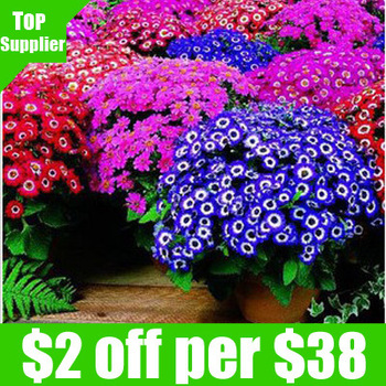 Free shipping 30pcs/bag florists cineraria seeds for DIY home garden / Beautiful flowers warm home/Multicolor flower seeds