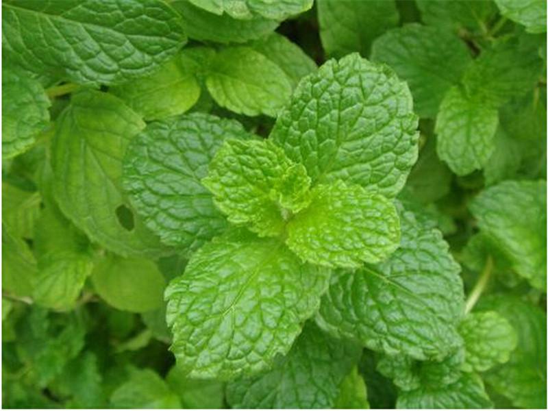 Low sales lemon mint, perennial anti-cold lemon mint, lime mint edible - 30 Seed particles(China (Mainland))