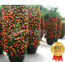 Sweet orange seeds, mini orange, small orange seeds about 100 pcs/bag(China (Mainland))
