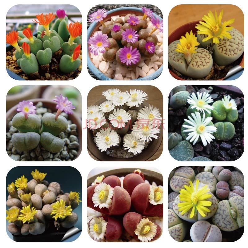 Flower pots planters Mix Double valve Succulent Lithops Stone Flowers seeds Bonsai plants Seeds for home & garden 100 Seeds/bag(China (Mainland))