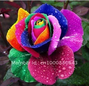 10pcs/bag colourful rose Rainbow Rose Flower Seeds DIY Home Garden