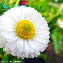 Free Shipping 50 Mix Daisy Hardy Plants Flower Seeds Exotic Ornamental Flowers *strawberry Ice Cream Small Chrysanthemum Bonsai(China (Mainland))